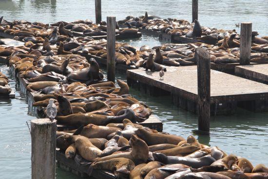 Sea lions on the floating docks